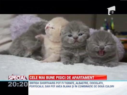 British Shorthairs, cele mai bune pisici de apartament