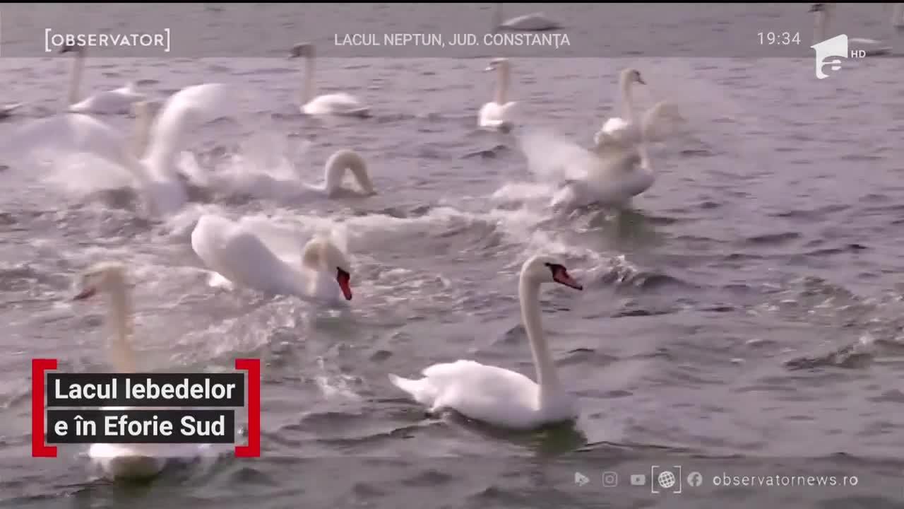 Lacul lebedelor e în Eforie Sud