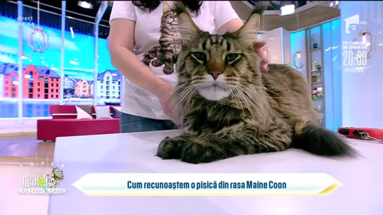 Cum recunoaștem celebra pisică din rasa Maine Coon