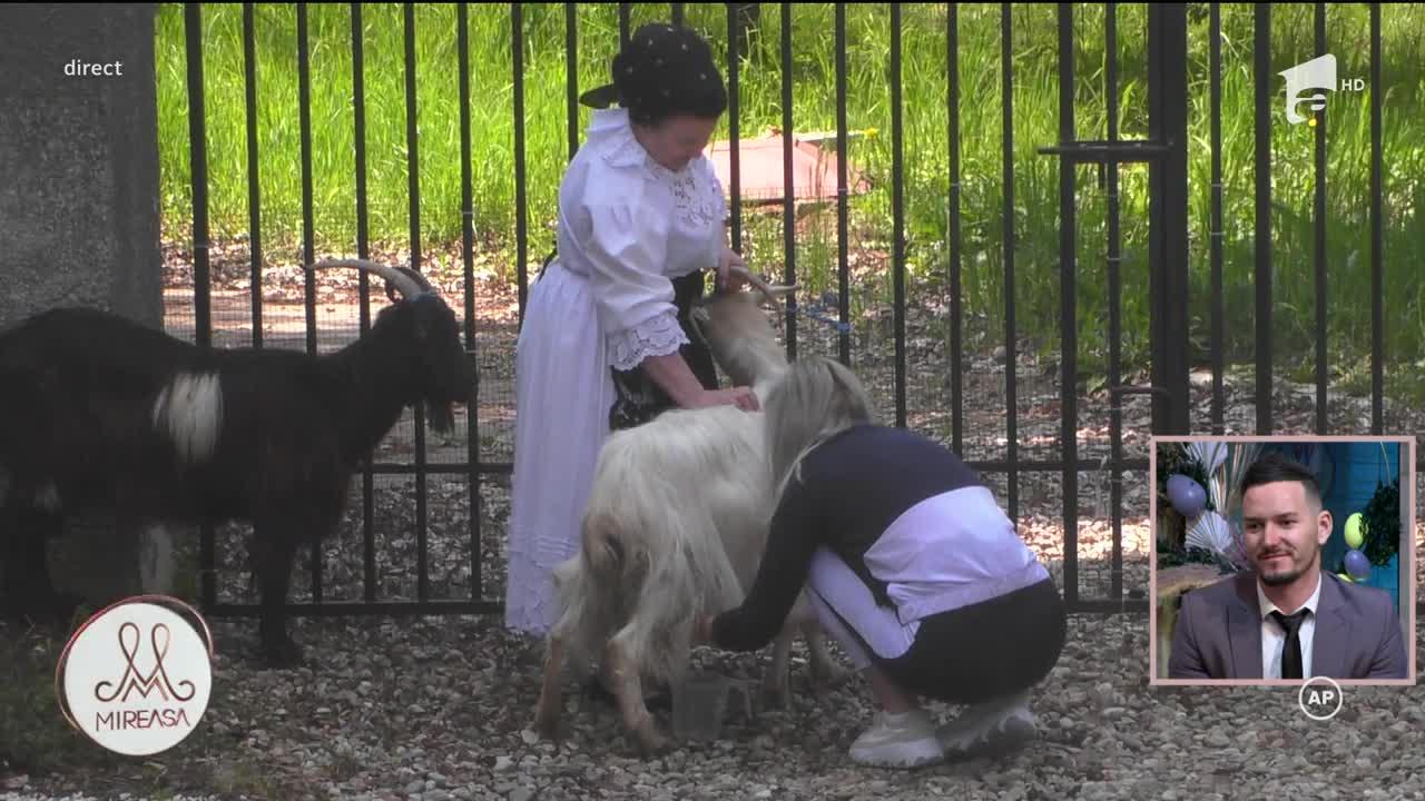 Fetele de la Mireasa, puse să mulgă capre! Iată cum s-au descurcat