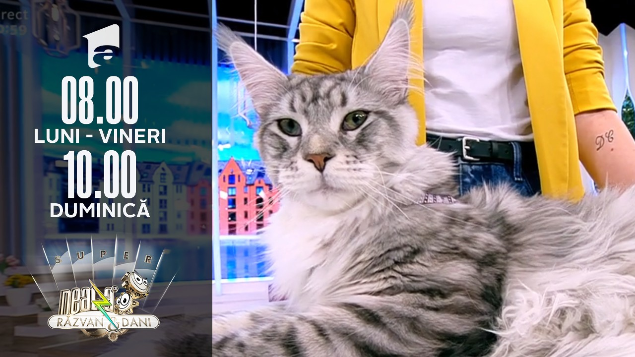 Super expoziție de pisici rasa Maine Coon, în direct, la Neatza