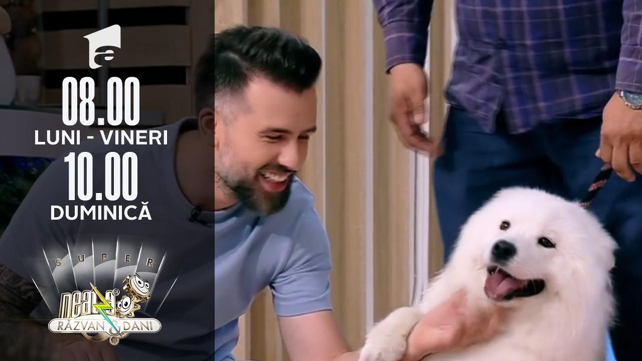 """Totul despre creșterea și îngrijirea câinilor din rasa Samoyed, câinele """"zâmbăreț"""""""