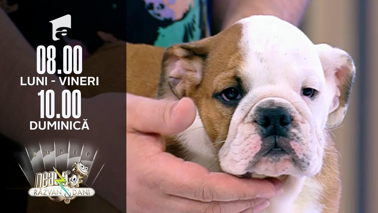 Neatza de Weekend, 18 iulie 2021. Particularitățile rasei Bulldog Englez