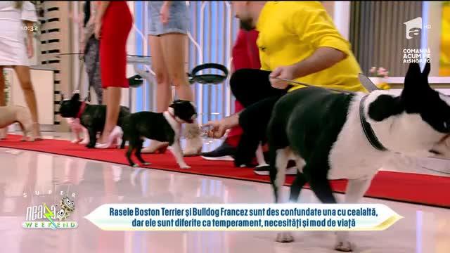 Neatza de Weekend, 15 august 2021. Paradă de câini din rasele Boston Terrier și Bulldog Francez