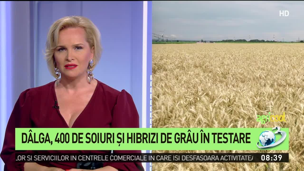 Dâlga, 400 de soiuri şi hibrizi de grâu în testare